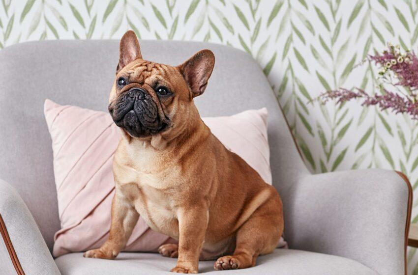 Should I Get a French Bulldog?